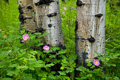 Wild roses bloom in an aspen grove outside of Granite, Colorado.