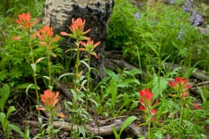 Bright orange and red paintbrush at the base of an aspen tree outside of Granite, Colorado.