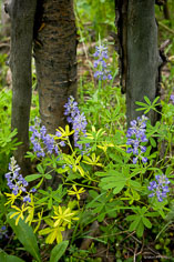 Lupines grow at the base of aspens outside of Granite, Colorado.