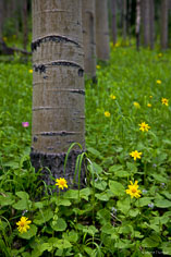 Bright yellow arnicas grow among aspens outside of Granite, Colorado.