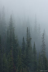 A light summer rain envelopes a stand of pine trees on the side of a mountain outside of Crested Butte in Colorado.