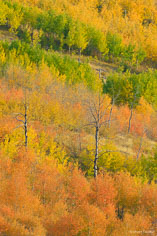 Orange, yellow, and green aspen trees on a hillside outside of Jackson, Wyoming.