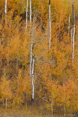 White aspen trunks contrast with their orange leaves on a hillside outside of Jackson, Wyoming.