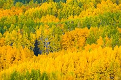 A lone fir tree is surrounded by gold and green aspens outside of Crested Butte, Colorado.
