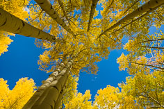 Golden aspen trees reach towards the brilliant blue skies of autumn outside of Crested Butte, Colorado.