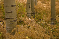The aspen trunks in a grove are surrounded by golden ferns outside of Crested Butte, Colorado.