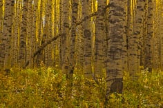 Sunlight streams through a grove of aspen trees that seem to have spotted trunks outside of Crested Butte, Colorado.