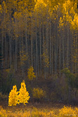 A pair of young aspen trees get the spotlight from the afternoon sun that causes them to glow outside of Crested Butte, Colorado.
