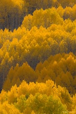 The afternoon sun catches the golden leaves of aspen trees and makes them glow outside of Crested Butte, Colorado.