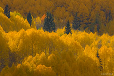 Pine trees stand out surrounded by glowing golden aspens outside of Crested Butte, Colorado.