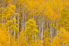 Brilliant gold leaves contrast with the white trunks of the aspen trees in a grove along the Silver Jack Reservoir outside of Ridgway, Colorado.