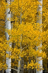 Golden aspen leaves contrast with white aspen trunks outside of Ridgway, Colorado.