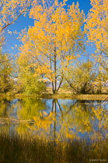 Golden trees and blue skies reflect in a pond on the South Island of New Zealand.