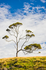 The branches of a beech tree contrast with the white clouds in the sky on the South Island of New Zealand.