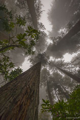 Towering redwood trees reach skyward through dense fog along Damnation Creek Trail in Del Norte Redwoods State Park, California.