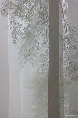 Fog envelopes a group of redwood trees in Del Norte Redwoods State Park in northern California.