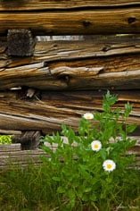 Flowers grow beside the logs of a ghost town structure in Independence, Colorado.