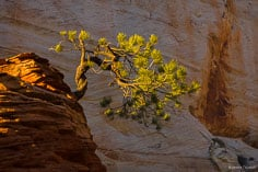 A twisted pine tree grows out of a red sandstone formation on the Zion Plateau in Zion National Park.