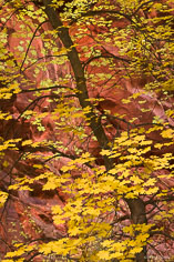 The bright yellow leaves of a maple tree contrast with the red canyon walls in Spring Creek Canyon outside of Kanarraville, Utah.