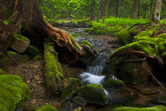 A small stream flows a misty forest in Acadia National Park, Maine.