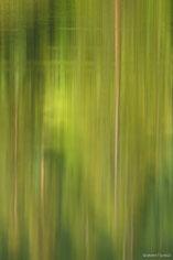 Tall pine trees produce an interesting  reflection on Maroon Lake outside of Aspen, Colorado.