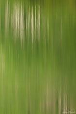 The white trunks and bright green leaves of an aspen grove reflect in Maroon Lake outside of Aspen, Colorado.