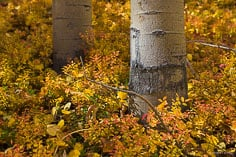 Aspen trunks are surrounded by colorful fall foliage outside of Buena Vista, Colorado.