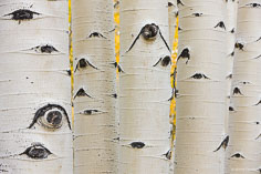 Bright white aspen boles with golden leaves in the background outside of Buena Vista, Colorado.