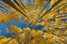A canopy of golden aspen trees highlighted against a deep blue sky outside of Buena Vista, Colorado.