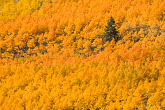 A lone pine tree stands in a grove of orange aspens outside of Nathrop, Colorado.