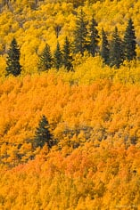 Pine trees are surrounded by orange and golden aspen trees outside of Nathrop, Colorado.