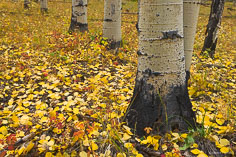 Aspen trunks stand in a forest floor covered with bright golden aspen leaves and red foliage along Aspen Ridge outside of Buena Vista, Colorado.