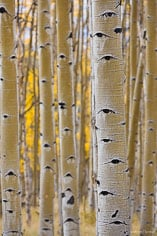 Rain dampened golden aspen grove along Aspen Ridge outside of Buena Vista, Colorado.