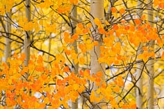 Orange leaves mixed in among the golden foliage in an aspen grove along Aspen Ridge outside of Bunea Vista, Colorado.