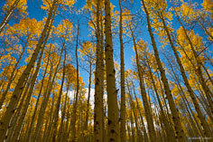 Golden aspen trees tower into the brilliant blue sky along Aspen Ridge outside of Buena Vista, Colorado.