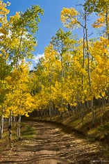 A road winds through golden aspen trees along Aspen Ridge outside of Buena Vista, Colorado.