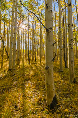 The sun filters through a golden aspen grove along Aspen Ridge outside of Buena Vista, Colorado.
