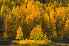 Late afternoon sunshine highlights a multicolored stand of aspens along Kebler Pass Road outside of Crested Butte, Colorado.