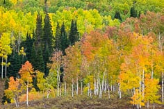 A stand of pine and fir trees is surrounded by aspens with various stages of vibrant fall foliage outside of Steamboat Springs, Colorado.