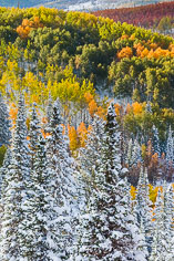 An early snowfall hangs on pine trees and blankets the ground below a hillside covered with aspen trees in a variety of autumn colors in the Routt National Forest outside of Steamboat Springs, Colorado.