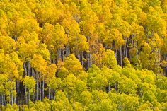 A stand of multi-colored aspens glow in autumn sunlight on a mountainside in northwestern Colorado.