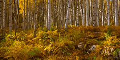 A multicolored medley of undergrowth carpets the forest floor beneath a stand of golden aspens along Kebler Pass Road outside of Crested Butte, Colorado.