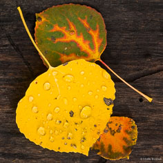 A colorful trio of aspen leaves lay on a log outside of Crested Butte, Colorado.