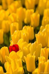 A lone red tulip stands among a field of yellow tulips in Skagit Valley, Washington.