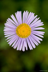 Violet aster bloom near Vicksburg, Colorado.