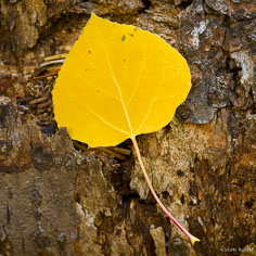 The bark of a fallen tree hold a golden aspen leaf outside of Steamboat Springs, Colorado.