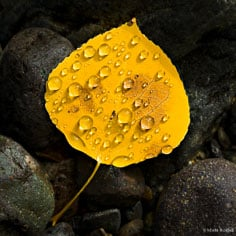Rain drops cling to a golden aspen leaf laying streamside outside of Ouray, Colorado.