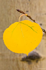 A golden aspen leaf hangs from a fallen branch along Aspen Ridge outside of Buena Vista, Colorado