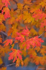 A bough of brilliant red maple leaves in Zion National Park, Utah.