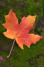An orange maple leaf rests on a mossy rock in Zion National Park, Utah.